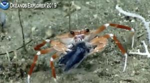 Hope Spot, crab