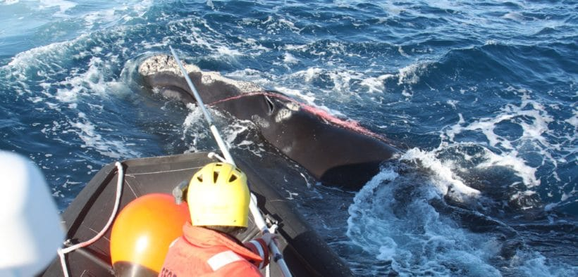 right whale, entangled