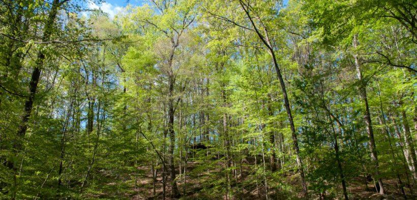 Fernbank, forest