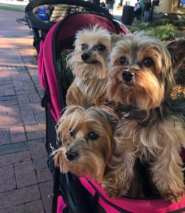 three small dogs in a stroller