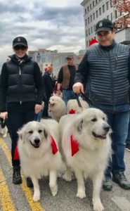 People walking big dogs in a parade