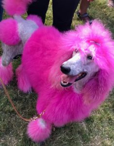 A poodle dyed pink
