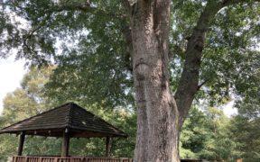 A big tree over a gazebo