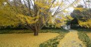 Ginkgo in Piedmont Park by Jack Seibert