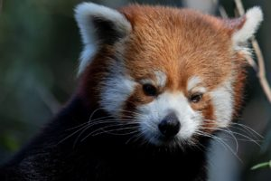 Jackie the red panda. Courtesy Zoo Atlanta