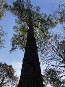 """""""Big Murph,"""" standing at 100 feet tall and a century-old."""