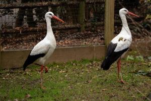 Betty and Vanna, two new storks at Zoo Atlanta