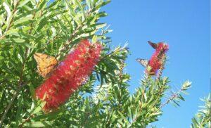 Monarch butterflies, apalachicola
