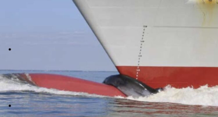 Scofflaw cargo vessels endanger right whales off Port of Savannah
