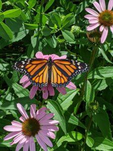 susan meyers, monarch