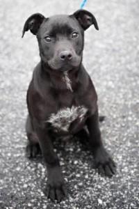 Labrador, baby male at DeKalb County's animal shelter