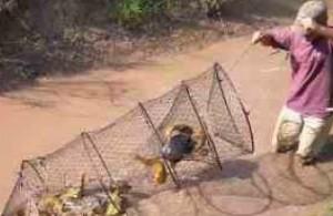 Turtles caught in hoop net.
