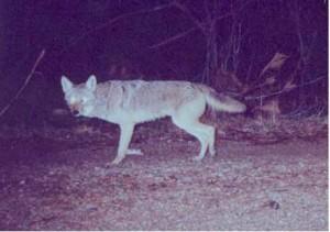 A coyote at night in Georgia