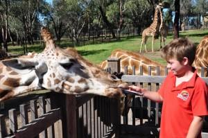 Feeding a Giraffe.